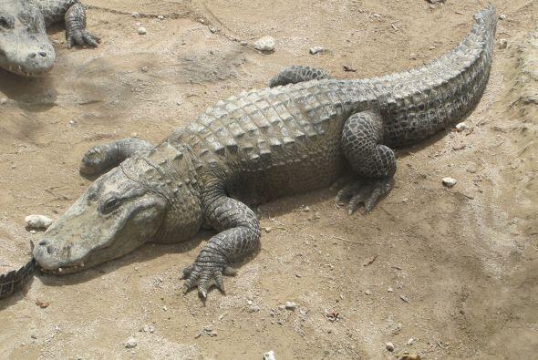 La granja de caimanes Everglades se encuentra en Miami.