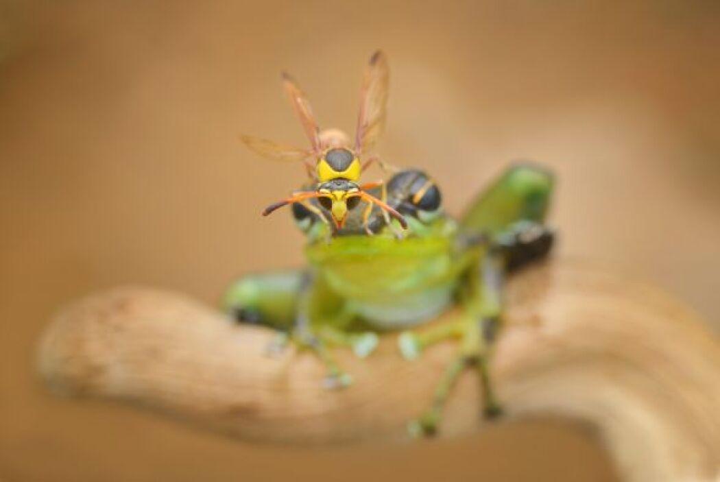 Una rana se quedó muy quieta cuando una avispa se posó sobre ella.