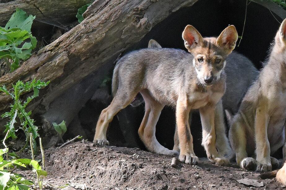 Lobos grises nacidos en cautiverio en el Brookfield Zoo de Chicago busca...
