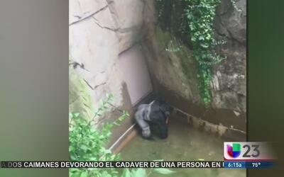 Asesinar al gorila del zoológico de Cincinnati, ¿fue la medida correcta?