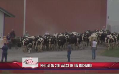 Rescatan 200 vacas de un incendio