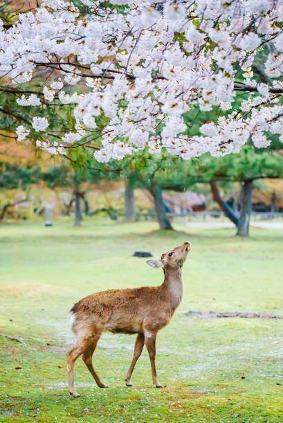 También conocida como la flor de cerezo, es símbolo de la...