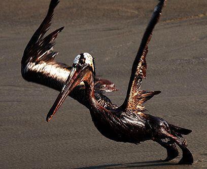 El último vuelo. Un pelícano cubierto de petróleo emprende un pesado vue...