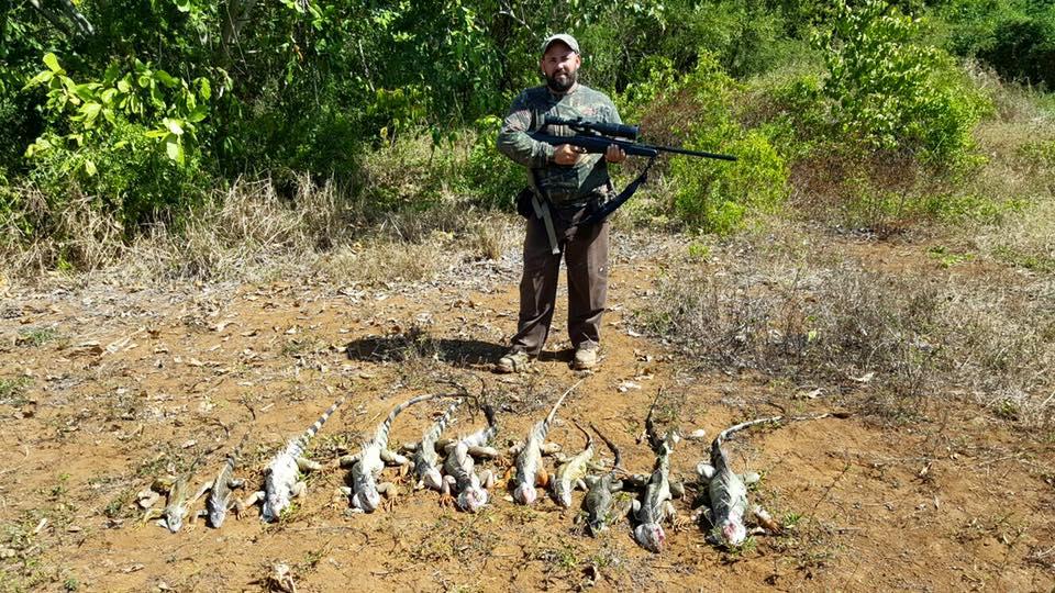 A la caza de la plaga de las iguanas en Puerto Rico  Univision
