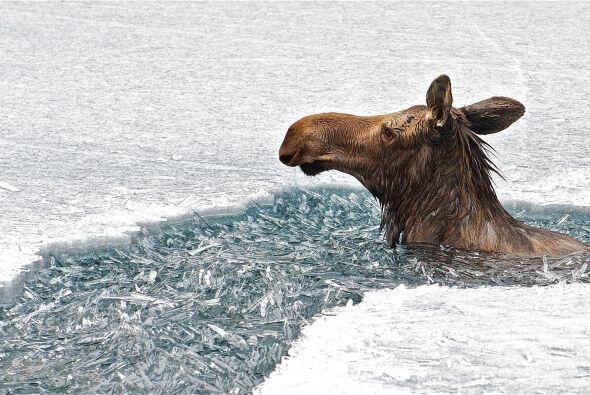 Fueron 45 minutos los que el alce pasó bajo las gélidas aguas del lago.