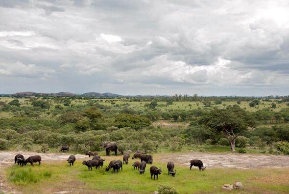 Los elefantes, quizá son los animales con mejor memoria de todo el reino...