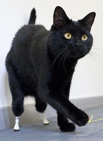 Oscar El gato fue el primero en su especie en recibir un implante de pat...