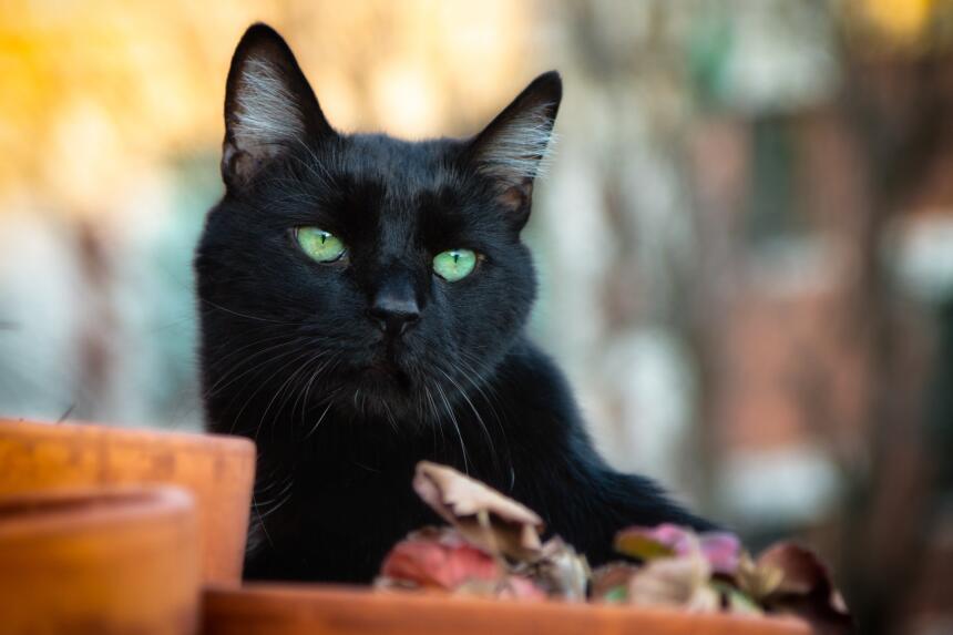 Conoce el misticismo del gato negro  2.jpg