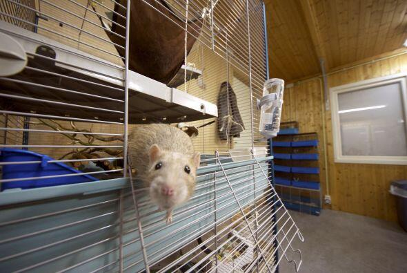 Las ratas están dentro del grupo de los más inteligentes....