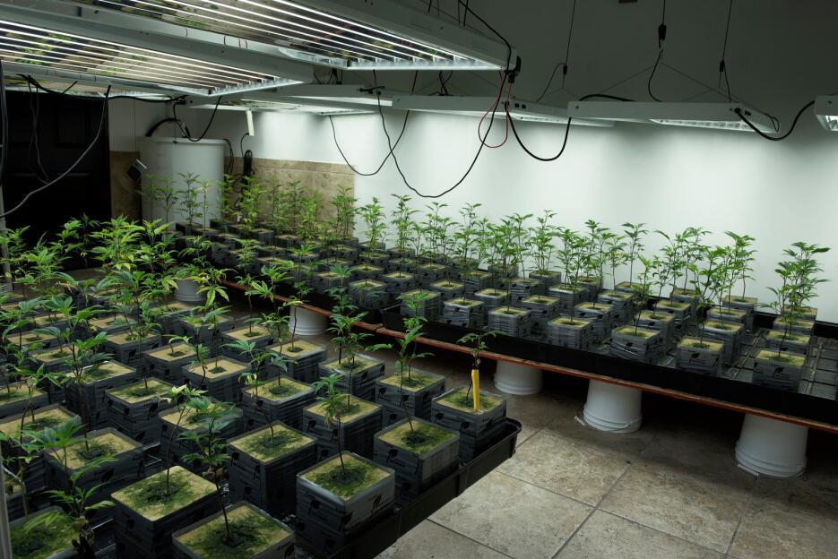 Invernadero de marihuana