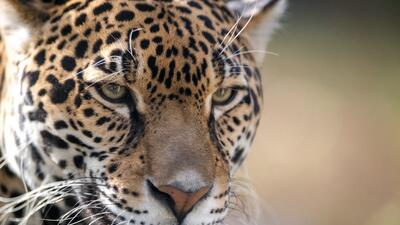 En fotos: Jaguares capatados en Arizona y Nuevo México