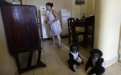 Video: Raising chimps in Cuba, a handful for a 62-year-old