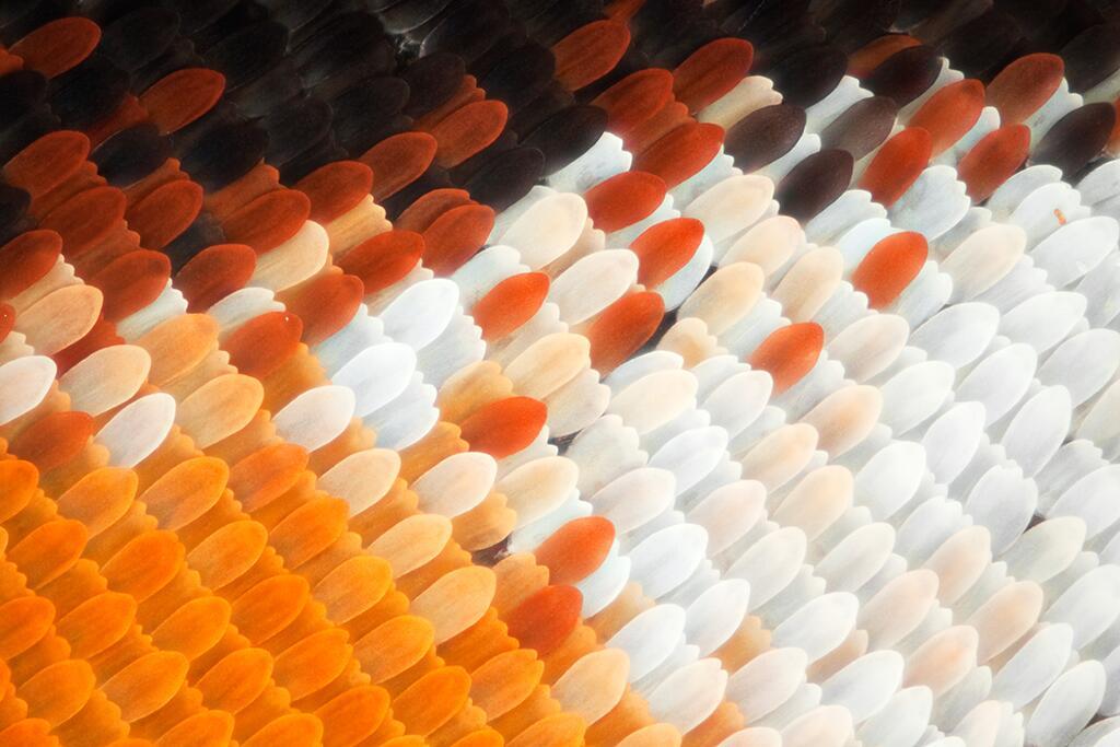 Las alas de mariposas como nunca antes las viste Ala de mariposa monarca...