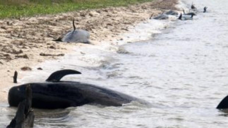 Mueren 10 ballenas en los Everglades mientras se hacen grandes esfuerzos...
