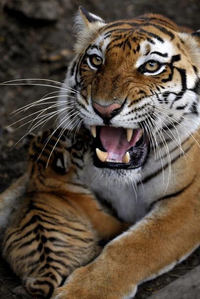 El gobierno indio estima que la población total del tigre de Bengala pod...
