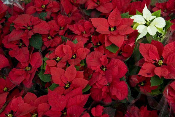 La flor de nochebuena es la más usada en épocas decembrina...