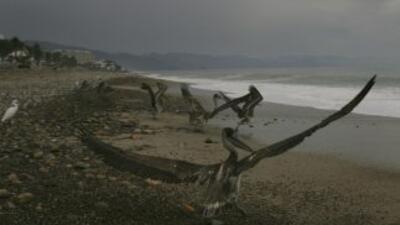 Más de 200 pelícanos aparecieron muertos en playas del norte de Perú, en...