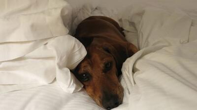 Se extiende la costumbre de permitir que los perros duerman en la cama