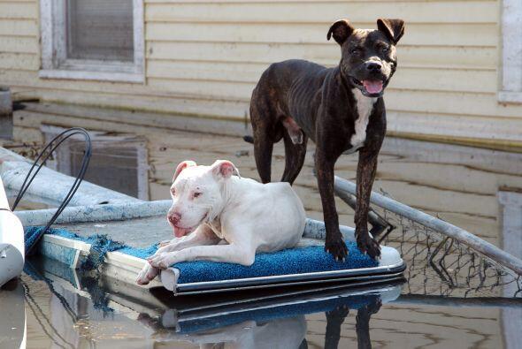 No solo las personas padecieron la furia de Katrina: miles de mascotas s...