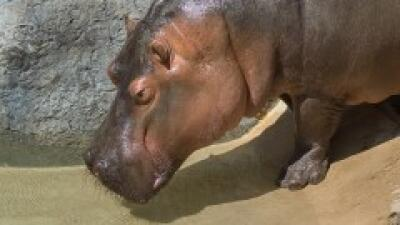 Hippo Encounter Tour está disponible fines de semana y días festivos