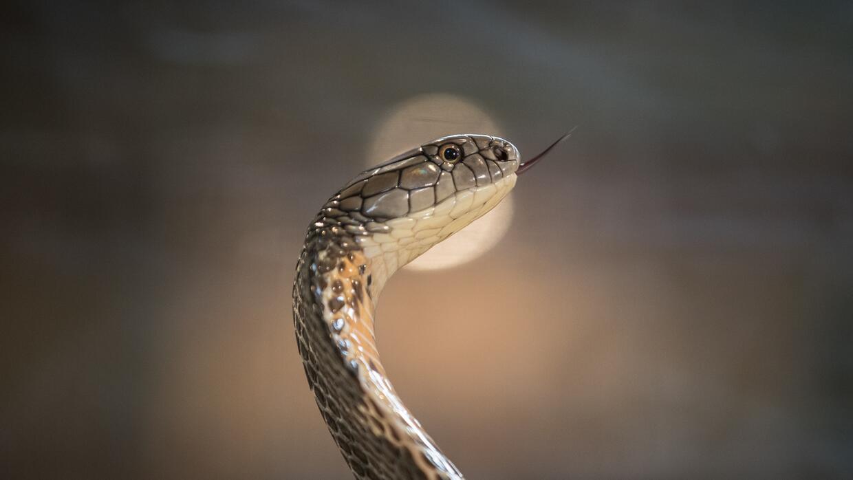 Tras la segunda aparición de una cobra en un barrio residencial en tres...