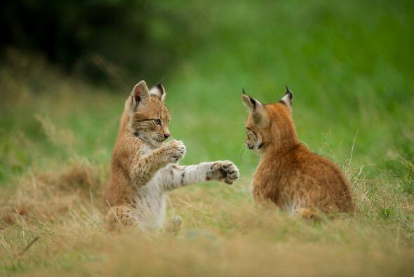 El lince es el felino más amenazado en el mundo y está en peligro de ext...