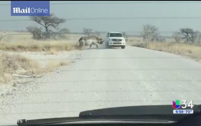 Rinoceronte mostró rabia en la carretera