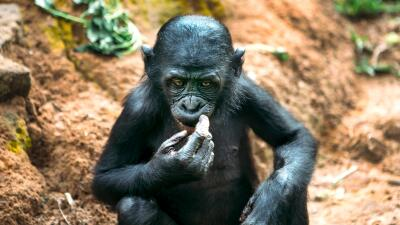 Así viven en el Congo los últimos bonobos, primates que usan el sexo como transacción