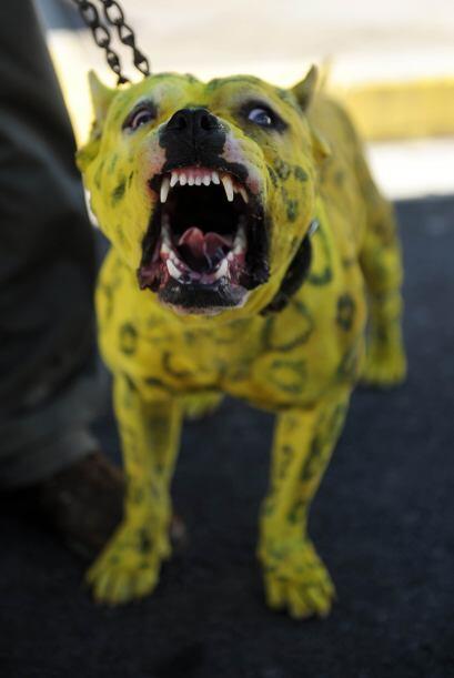 Mito: El pitbull es asesino por naturaleza.