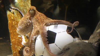 Historias de Mundiales: el pulpo pitoniso más acertado y popular en la historia deportiva