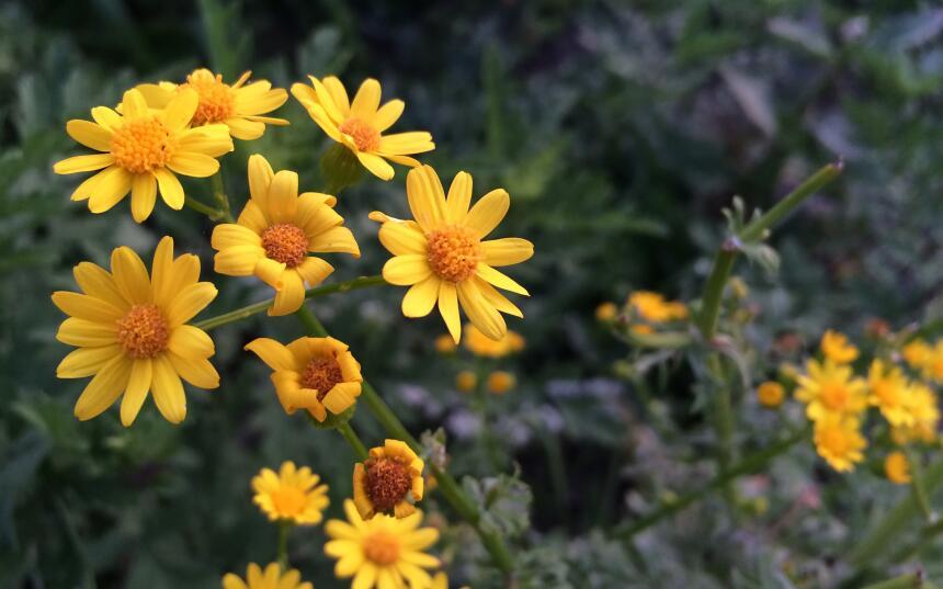 Flores silvestres de Texas