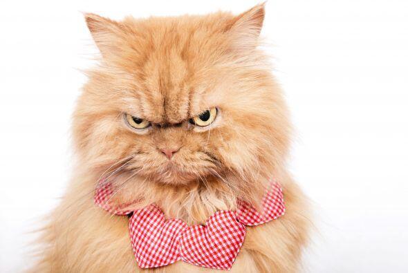 Parece que el gato persa ve en lo profundo de tu alma, pero no: sólo es...