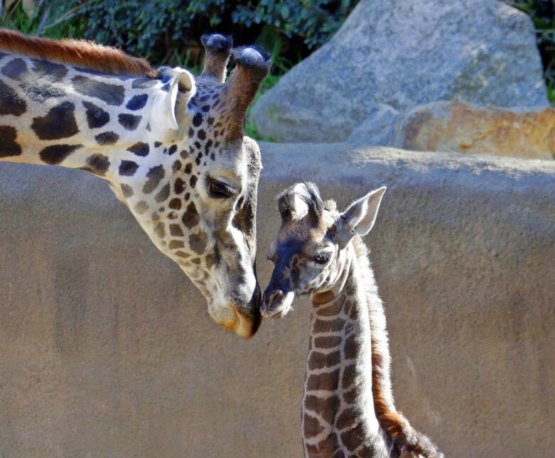Jirafa Zoológico de Los Ángeles
