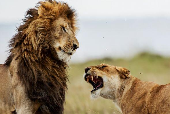 Estas fotografías podrían resultar vergonzosas para este león.
