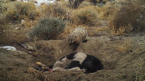 Así fue que un tejón hizo desaparecer una vaca en el desierto