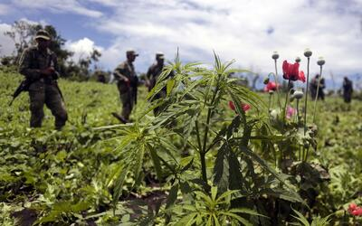 Plantas de amapolas en Guerrero, donde se encuentran los mayores cultivo...