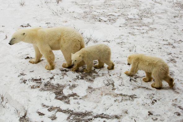 La superposición de territorios entre osos y humanos, resulta pel...