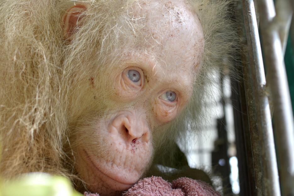 Buscan un nombre para la rara orangután albina rescatada en Indonesia  O...