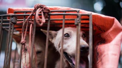 Este es el Fesitval de Yulin por el que mueren miles de perros para el consumo de su carne