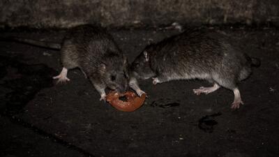Según un estudio, Chicago es la ciudad con más ratas en EEUU