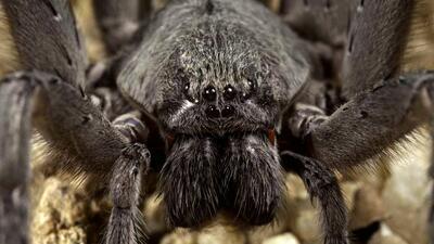 La araña Califorctenus cacachilensis.