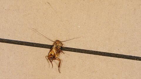 La inspeccción encontró insectos vivos y muertos en varios...