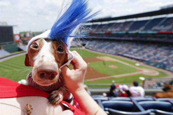 Un perro salchicha con una simpática peluca.