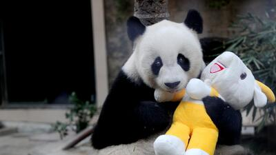 2016 se llevó a Pan Pan, el panda más viejo y que más ha ayudado a salvar a la especie