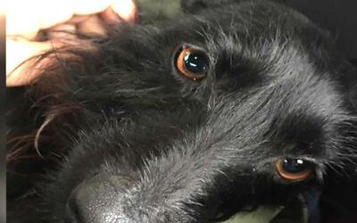 Encuentran un perro con quemaduras de tercer grado en Simi Valley