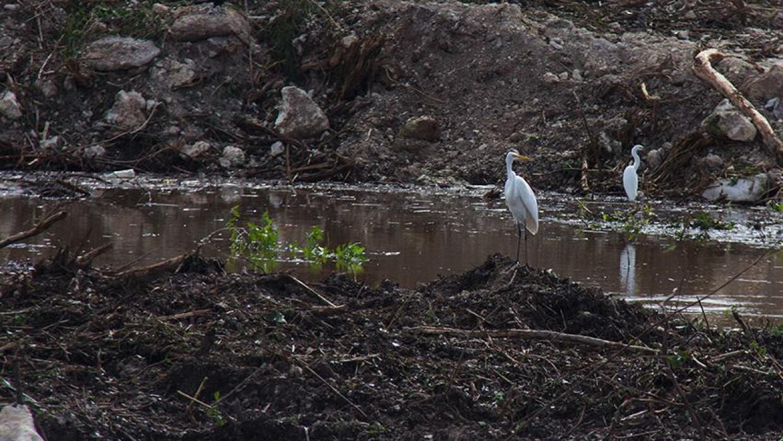 Especies en el manglar Tajamar.