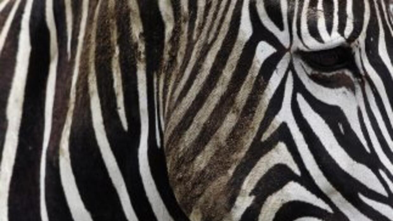 """Una cebra, que vive con su pareja en un zoológico cubano, parió un """"cebr..."""