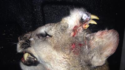 Imagen de un extraño puma en Idaho