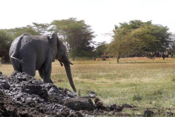Cuando por fin logró salir, el elefante estaba sediento y hambriento.