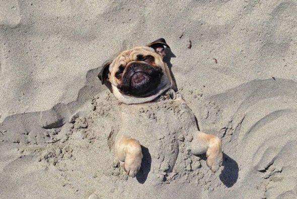 Este Pug se ve que disfruta estar enterrado en la arena.
